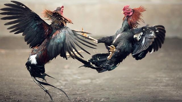 Situs Judi Sabung Ayam Online Terpercaya - backroompodcast